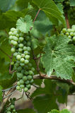Grapes on vine. Detail of grapes on a vine in a Moselle vineyard Stock Photos