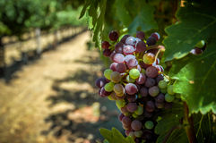 Grapes on A Vine. Fresh grapes ripening on the vine in a California vineyard Royalty Free Stock Photos