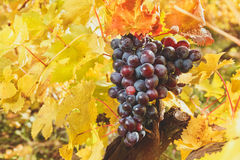 Grapes on the vine and golden leaves Royalty Free Stock Photos