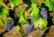 Grapes on the vine Royalty Free Stock Photos