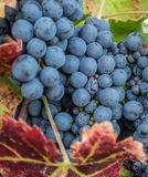 Grapes on the vine Royalty Free Stock Images