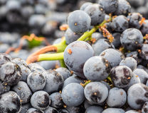 Grapes on the vine Stock Photos