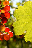 Grapes and vine leaf with place for text Royalty Free Stock Photos