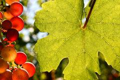 Grapes and vine leaf with place for text Royalty Free Stock Photography