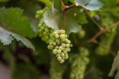 Grapes with vine leafs Stock Photo