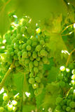 Grapes on the Vine on a morning light Royalty Free Stock Image