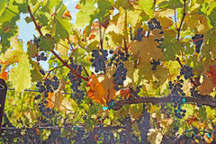 Grapes on the vine in the Napa Valley of California Stock Photos