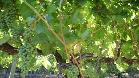 Grapes on vine panorama. Sunset close up panorama of white grapes on vine in Margaret River, wine region in Western Australia. Margaret River is known for its stock video footage