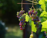 Grapes, Vine, Red Grapes, Wine Royalty Free Stock Images