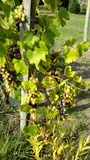 Grapes on the vine. Red, green and black grapes growing hanging on a grapevine Stock Photo