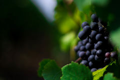 Grapes on the vine. Red grapes on the vine Stock Images