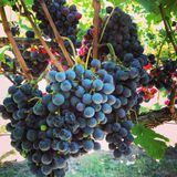 Grapes on the Vine. Ripe Cabernet Franc grapes on the vine ready for harvest at dawn royalty free stock photo