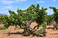 Grapes on the vine ripening in the summer sun. stock photo