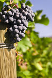 Grapes on the vine (selective focus). Several bunches of ripe grapes on the vine (selective focus Royalty Free Stock Photos