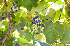 Grapes on vine Stock Photography
