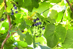 Grapes on vine Stock Image