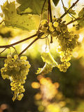 Grapes on vine and spider web in sunlight. Ripe green grapes on vines and spider web backlit by the sun Royalty Free Stock Images