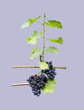 Grapes on vine stock Stock Photos