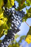 Grapes on the Vine / summer Stock Images