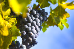 Grapes on the Vine / summer Royalty Free Stock Photo
