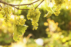 Grapes on vine in sunlight royalty free stock photo