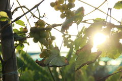 Grapes on vine sunny day Stock Images