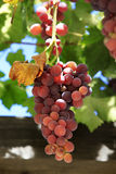 Grapes on vine sunny day stock photos