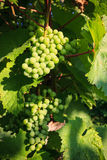 Grapes in vine Stock Photo