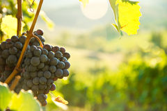 Grapes on the vine in Tuscany, Italy Stock Photos