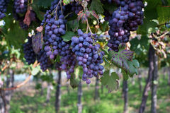 Grapes on vine in vineyard stock images
