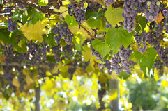 Grapes on Vine in Vineyard Stock Photography
