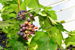 Grapes on the vine in vineyard Royalty Free Stock Photo