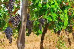 Grapes on Vine in Vineyard HDR Royalty Free Stock Image