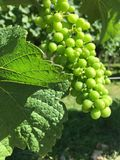 Grapes on Vine. Grapes in a vineyard in the south of Germany Stock Images