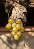 Grapes on the Vine Stock Photography