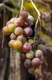 Grapes on the Vine Royalty Free Stock Photo