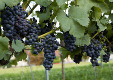 Grapes on vine1 Royalty Free Stock Photo