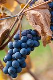 Grapes and vines in autumn Royalty Free Stock Photos