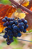 Grapes and vines in autumn stock images