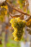 Grapes and vines in autumn Royalty Free Stock Photography