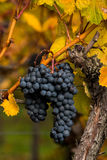 Grapes of vines in autumn. Vineyards in autumn in Rhenish Pfalz royalty free stock photography