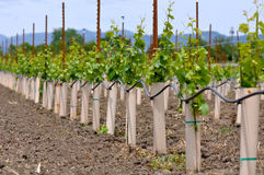 Grapes Vines being Planted stock image