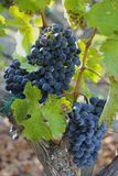 Grapes on vines Royalty Free Stock Images