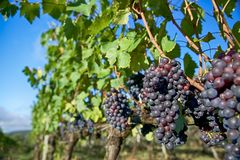 Grapes on Vines with Blue Sky Royalty Free Stock Photography