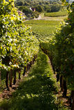 Grapes and vines Stock Photography