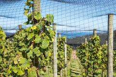 Grapes Vines Under Nets Royalty Free Stock Image