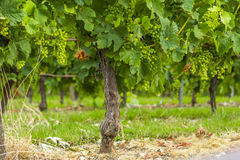 Grapes vines vineyard Bordeaux France Royalty Free Stock Photography