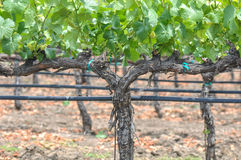 Grapes Vines Stock Photography
