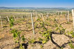 Grapes vines in vineyard during spring Stock Images