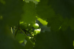 Grapes Vines Wine Vineyard Stock Images